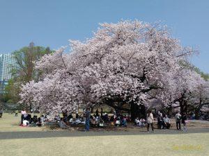 桜を見る幸せ、世界中に届けたい
