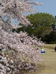 桜を見る幸せ、恋しいあの人に捧げたい